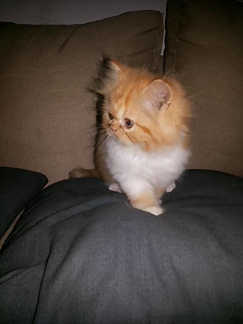 Download 61+  Gambar Kucing Lucu Gendut Paling Imut HD
