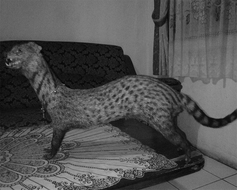 [Best Offer] JUAL ANTIK Binatang Musang Besar Hiasan / Pajangan, Kulit Belang