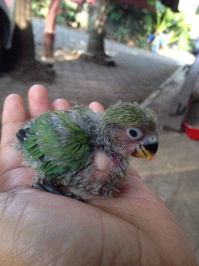 Terjual Jual Cockatiel Falk Parkit Australia Lovebird