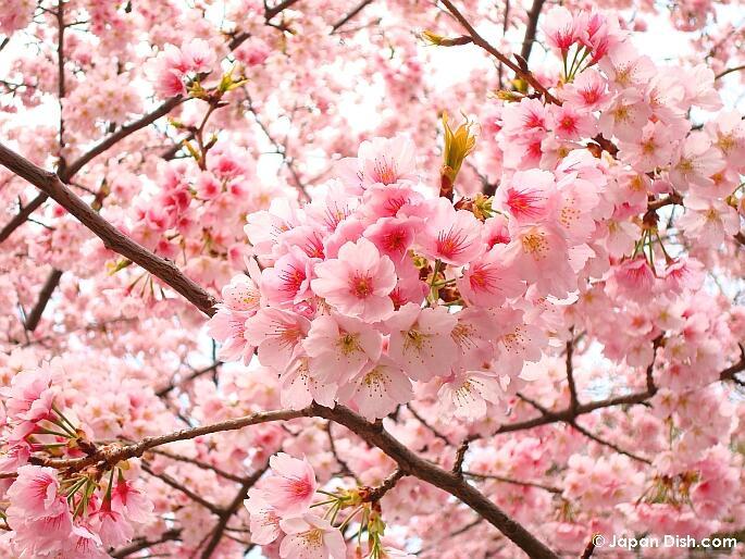 Unduh 3000 Wallpaper Bunga Sakura Pink HD Paling Baru