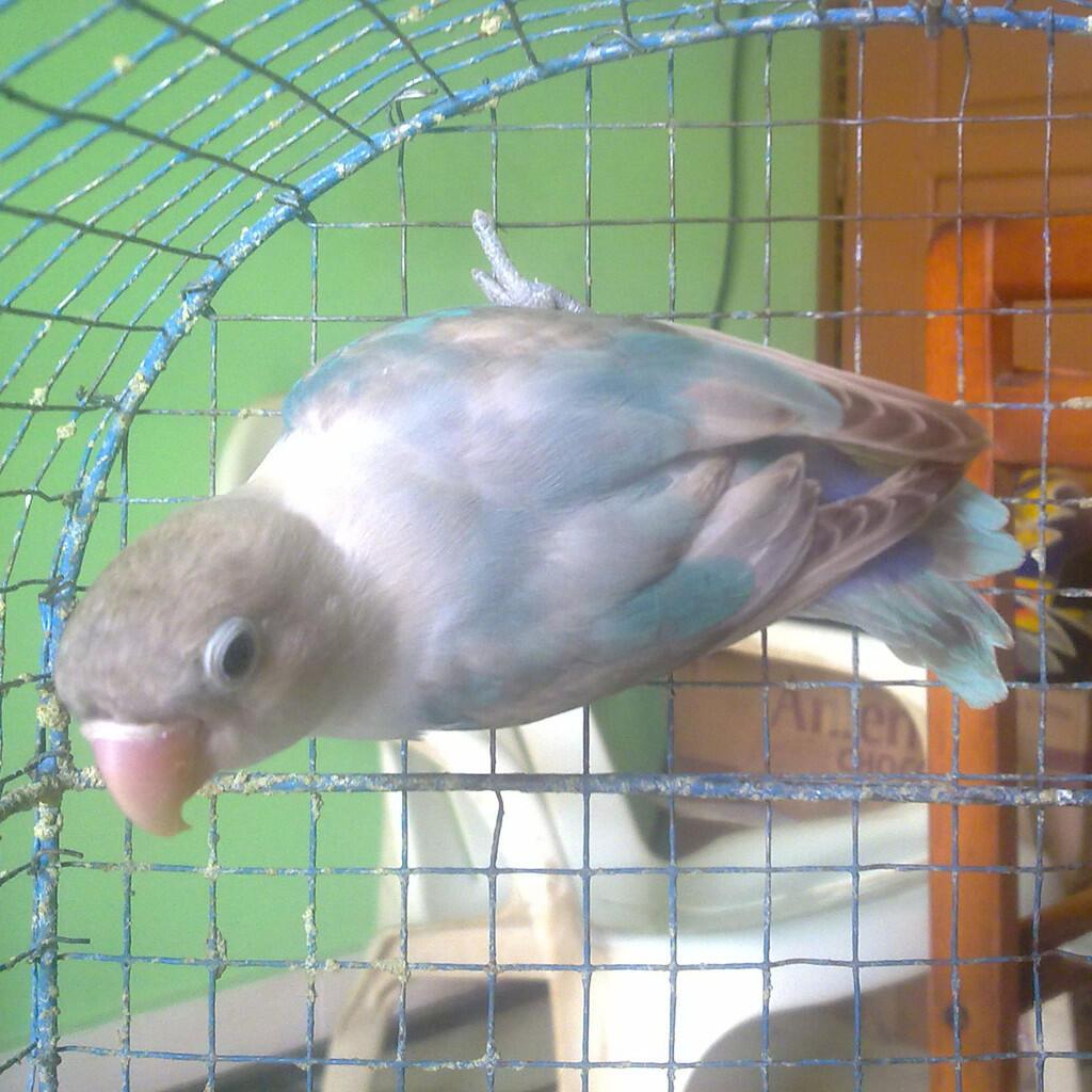 Lovebird Green & Blue Spangled