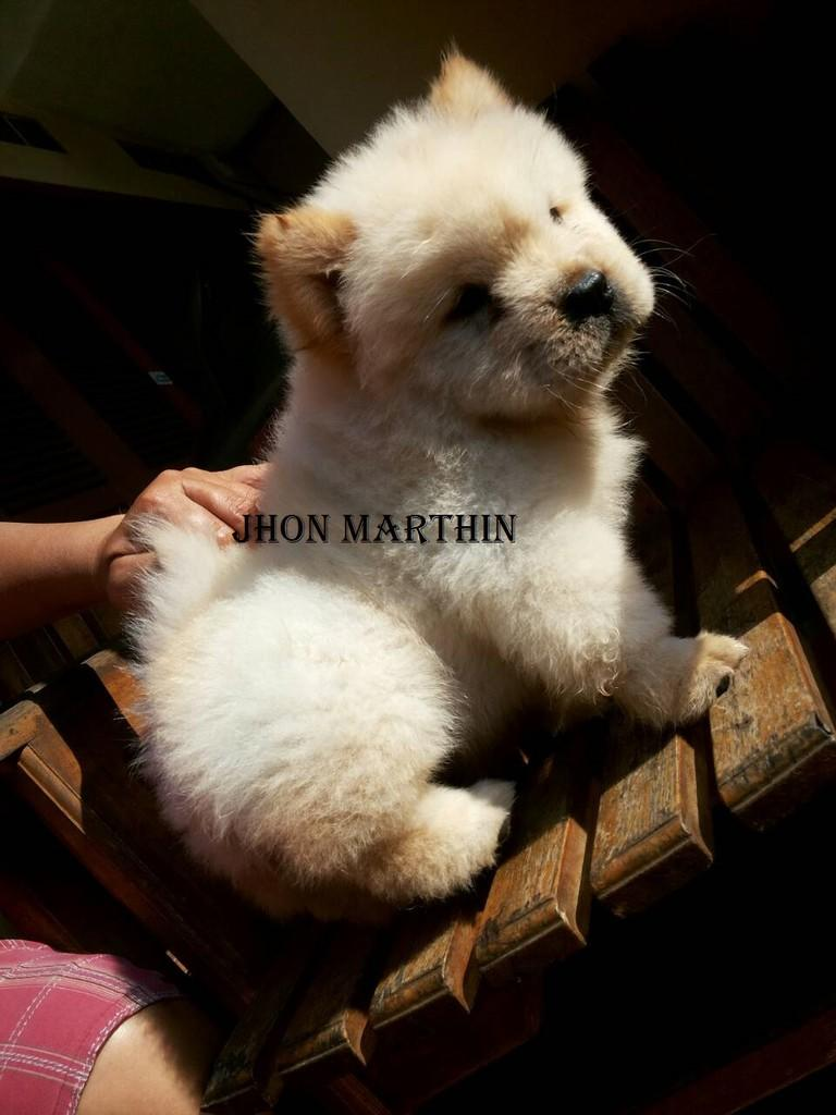 Ready for Booked 2 White chow chow puppies ( 1 Male 1 female ) anjing