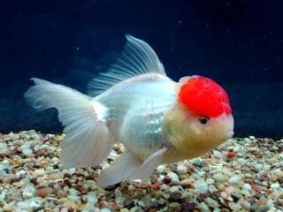 Terjual Benih Ikan Hias Mas Koki Goldfish Patin Kaskus