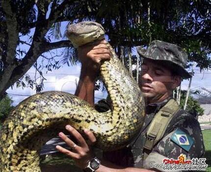 Anaconda Hijau, Ular Terbesar di Dunia