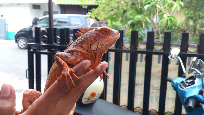 iguana red
