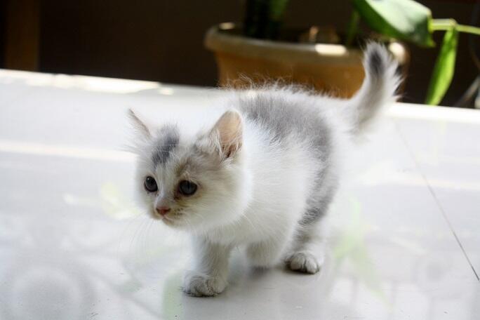 Terjual 2 Kitten Anak Kucing Persia Medium Muka Ragdoll