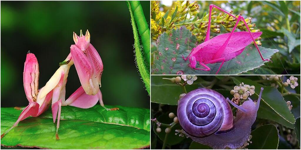 Unik, Pernah Ketemu Hewan Berwarna Pink Seperti Ini?