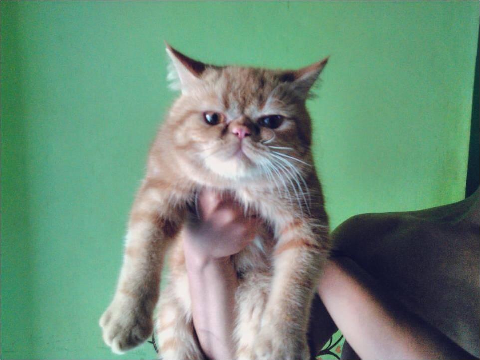 kitten peaknose exo jantan