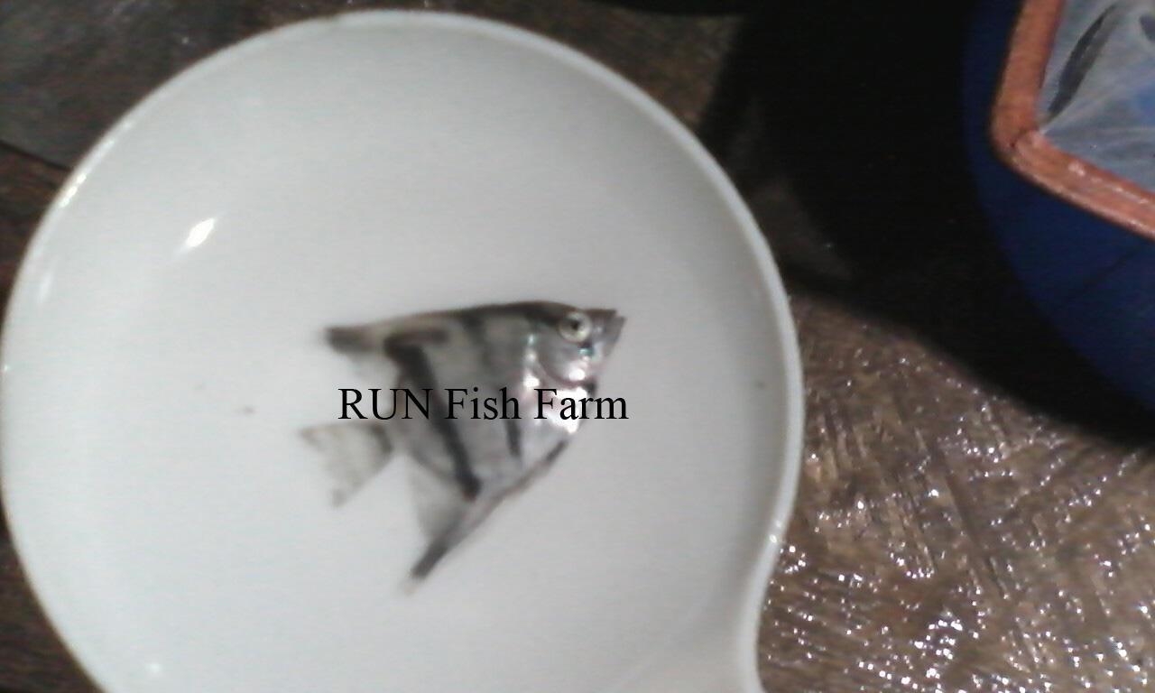 ikan hias tetra, manfish, black ghost, dsb (RUN Fish Farm)