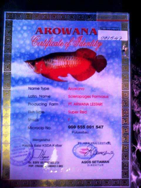Terjual Jual Ikan Arwana Super Red Anakan Amp Indukan