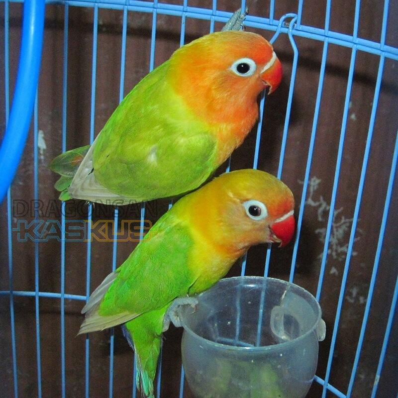 terjual maniak lovebird dijual lovebird paskun dan