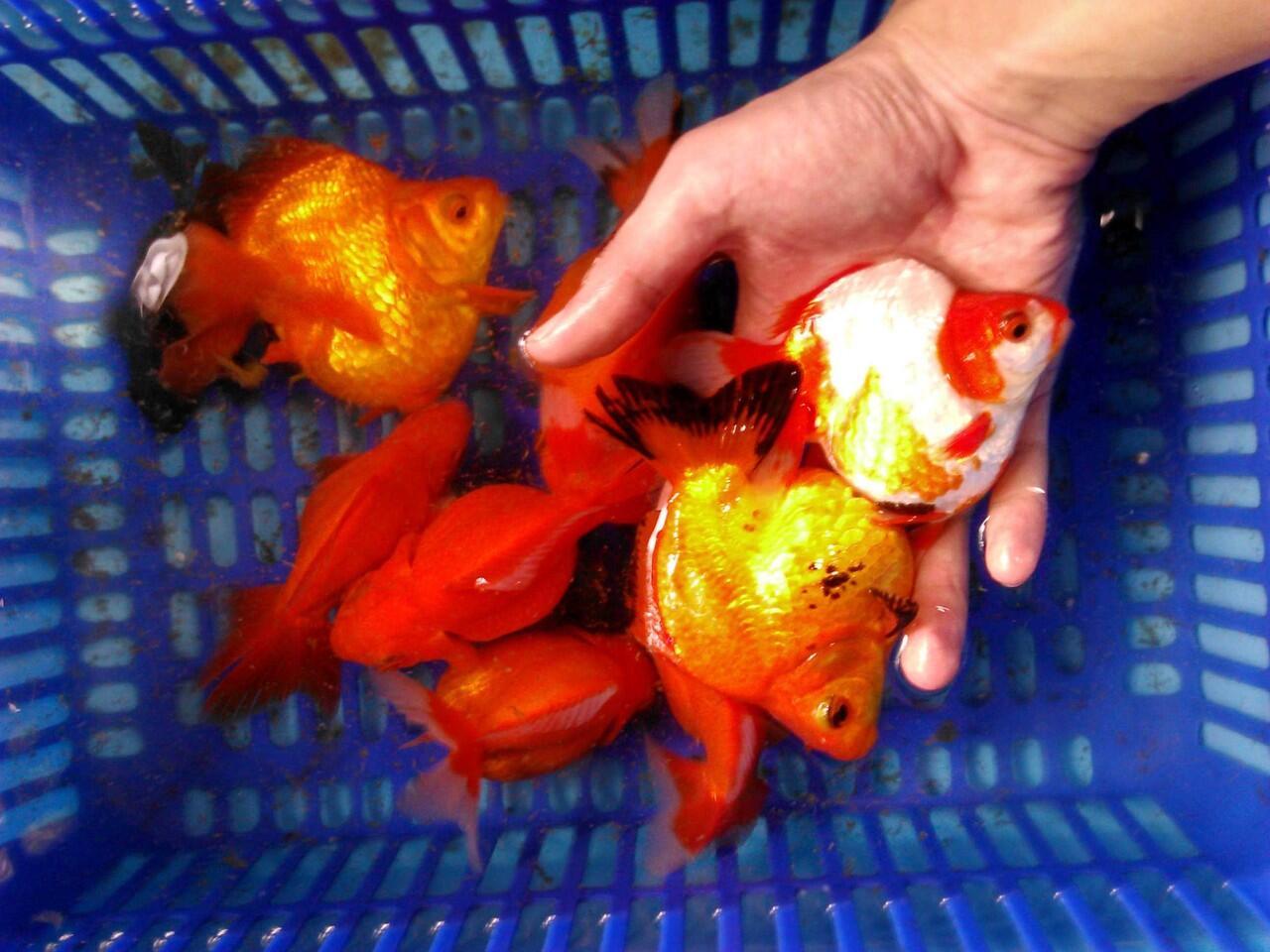 Terjual Jual Ikan Hias Mas Koki Oranda Rancu Mutiara Dll Kaskus