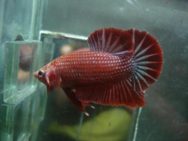 Terjual ikan cupang baby giant, halfmoon double tail ...