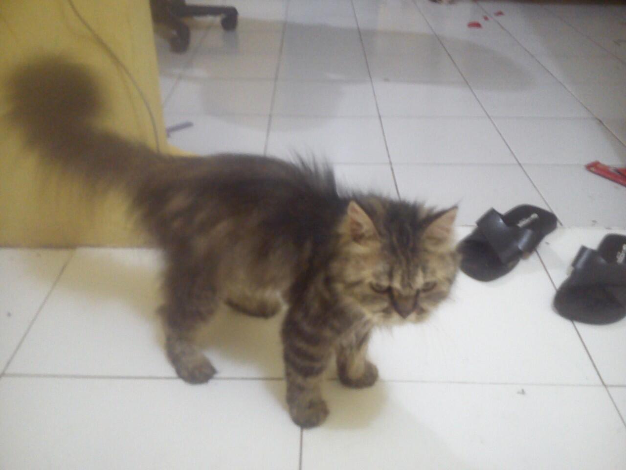 Terjual Kucing Persia Ras Super Tulang Besar Kaskus