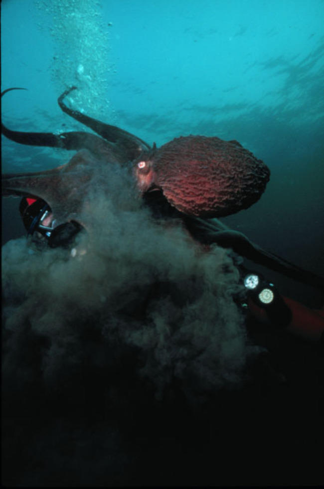 Mengenal Gurita, Makhluk Cerdas di Laut Lepas