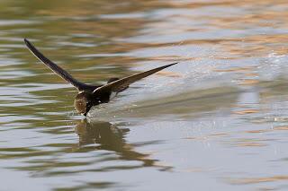 Burung - Burung Tercepat Di Dunia