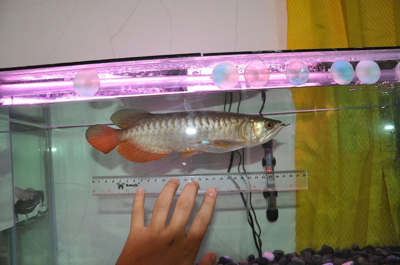 Terjual Jual Ikan Arwana Golden Red Sertifikat Resmi Aquarium Komplit Arowana