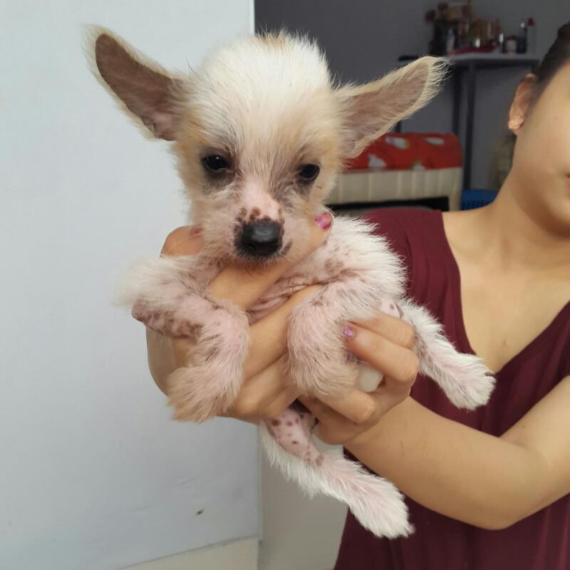 dijual anjing chinese crested