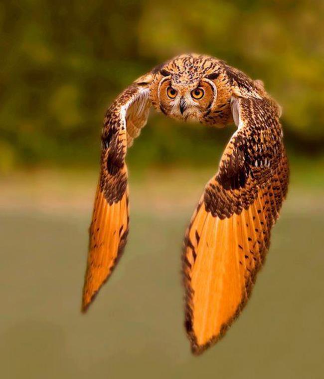 720 Koleksi Gambar Burung Hantu Sedang Terbang Gratis Terbaru