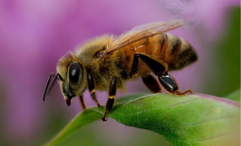 Apakah Hewan Bisa Menangis dan Mengapa Lebah Madu Bunuh Diri?