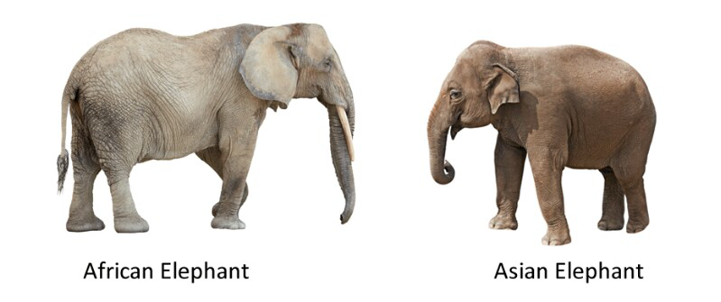 Differences between african elephant and asian elephant