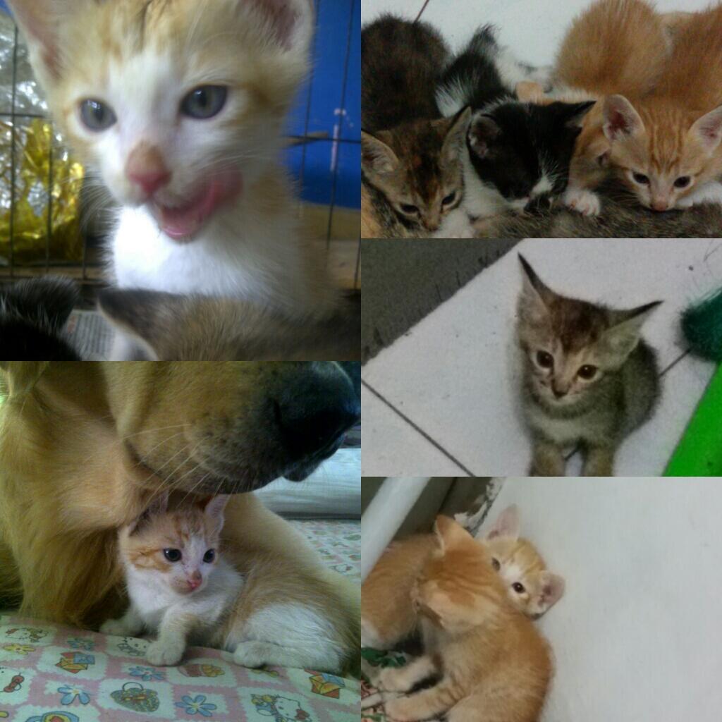 Hibah Kucing Khusus Surabaya, RAS Domestik Lokal