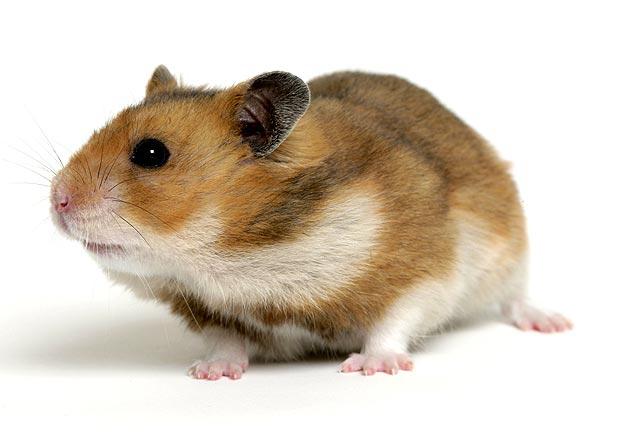 Keunikan Binatang Hamster