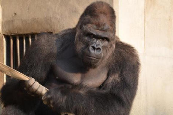 Haaa, Gorilla Tampan Ini Menjadi Pusat Perhatian Perempuan Jepang.