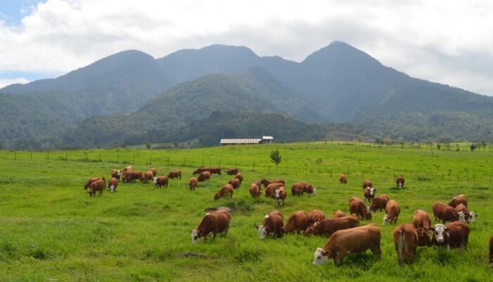 Padang Mangateh Payakumbuh , New Zealand-nya Indonesia