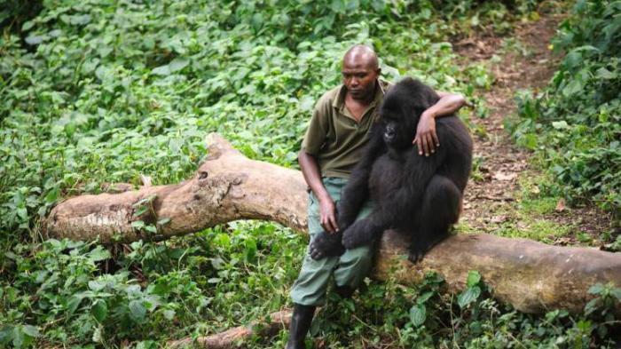 Pria Penjaga Hutan Peluk Anak Gorila yang Menangis Usai Ibunya Dibunuh Pemburu