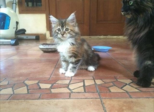 Maine Coon Lovers Come Here Page 69 Kaskus