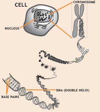 Jika adam dan hawa nenek moyang manusia lantas mengapa kita berbeda gen dalam tubuh kita terletak dalam inti sel dalam kromosom yang tersusun dari untaian rantai dna dna sendiri tersusun atas urutan pasangan ccuart Images