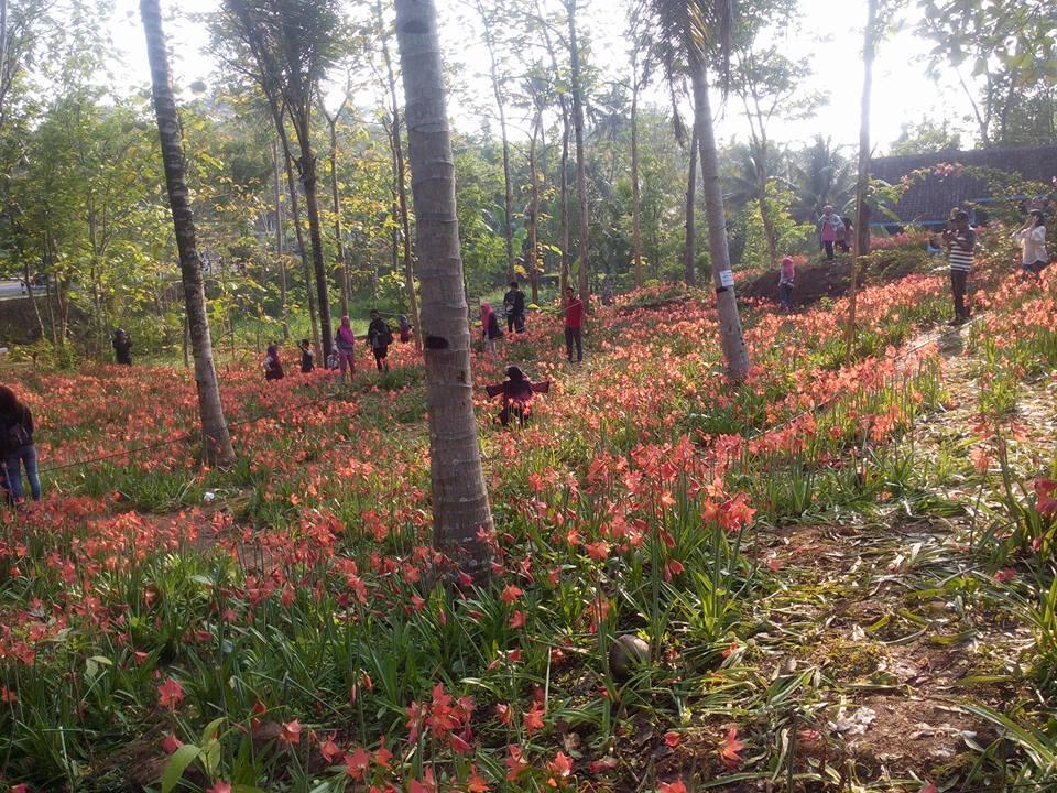Kisah dibalik si manis bunga AMARYLLIS Patuk Gunung Kidul