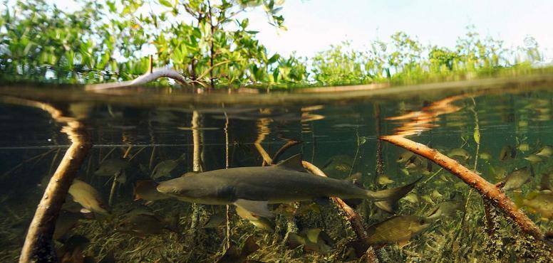 Ada Apa Dengan Mangrove ? Sejuta Manfaat Pohon Mangrove