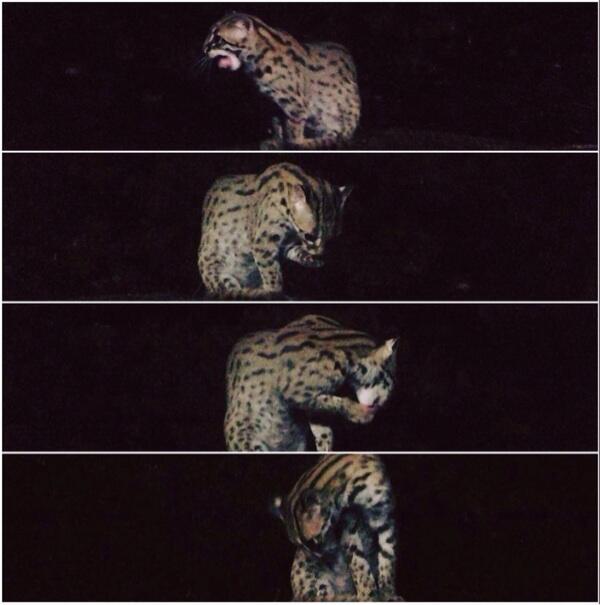 Pecinta Kucing Hutan Kumpul Yuk Page 286 Kaskus