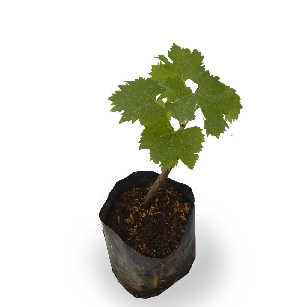 25 Manfaat Buah Anggur Hijau