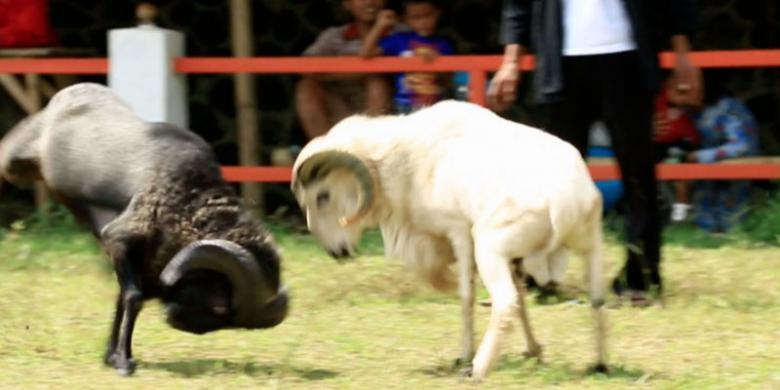 Ini Alasan Jokowi Gelar Kontes Domba Garut