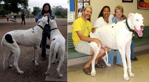 Wow! Anjing dari Indonesia PECAHKAN REKOR ANJING TERTINGGI DUNIA (Anak Gajah Coy)