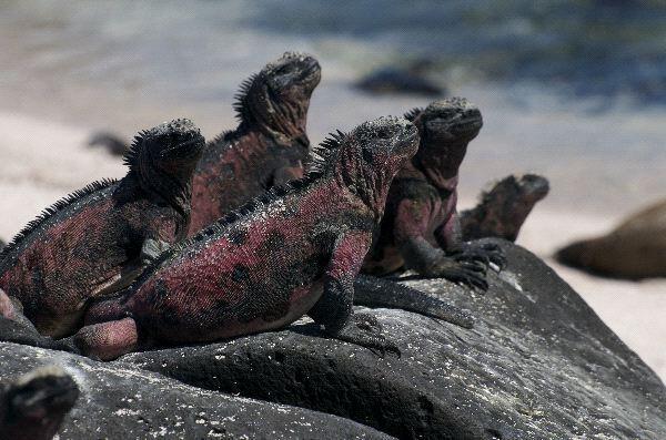 Marine Iguana, Hewan yang Menjadi Inspirasi Godzilla