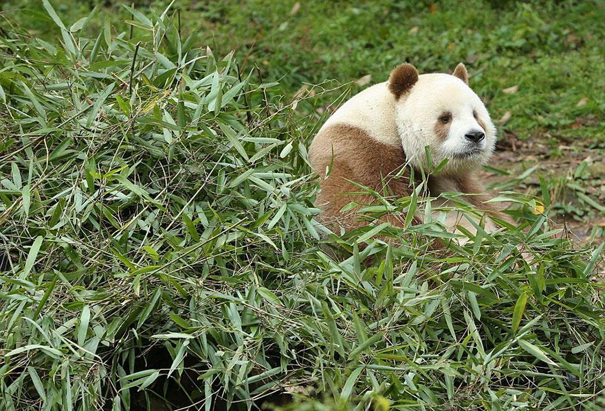 Perkenalkanlah Qizai.. Si Panda Cokelat Satu Satunya Di Dunia..