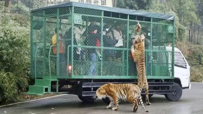 Pengunjung Dimasukkan ke Kandang dan Diumpankan untuk Singa dan Harimau!