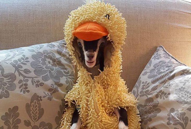 Polly, Si Kambing Unik Dengan Kostum Bebek Favoritnya..