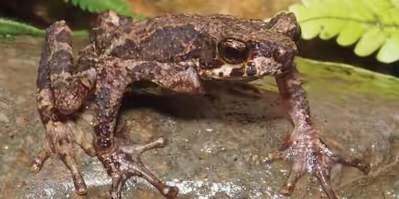Ini Dia Katak Sigale Gale, Genus Katak Baru dari Sumatera