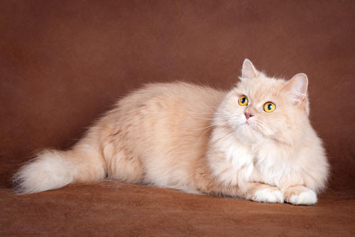 7 Warna Kucing yang Langka banget, Ada Warna Putih Muda Gak ya?
