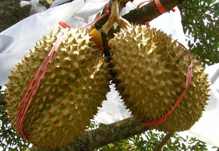 Durian, Si Legit Yang Berpenyakit!