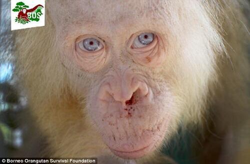 Orang Utan Albino Langka Ditemukan di Kalimantan Gan!