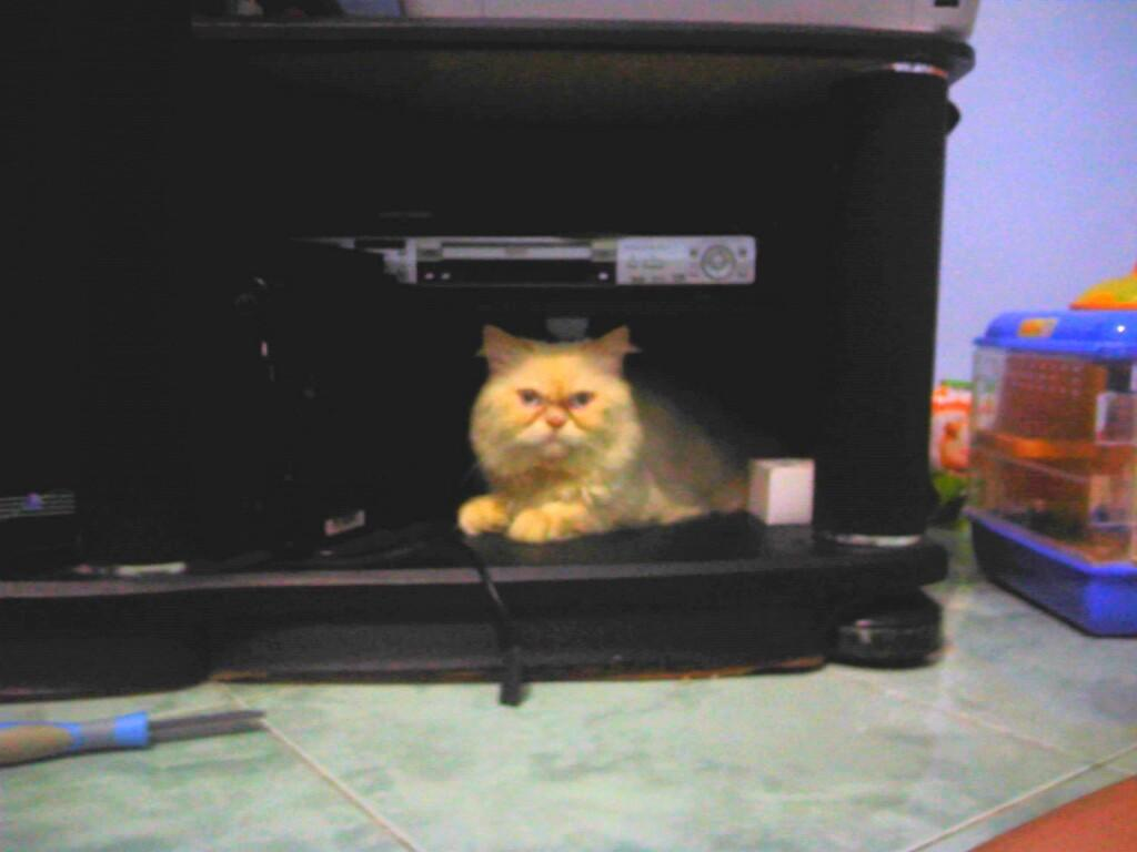Mewarnai Gambar Kucing Anggora