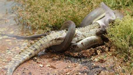 Foto ular terbesar di kalimantan tengah 72
