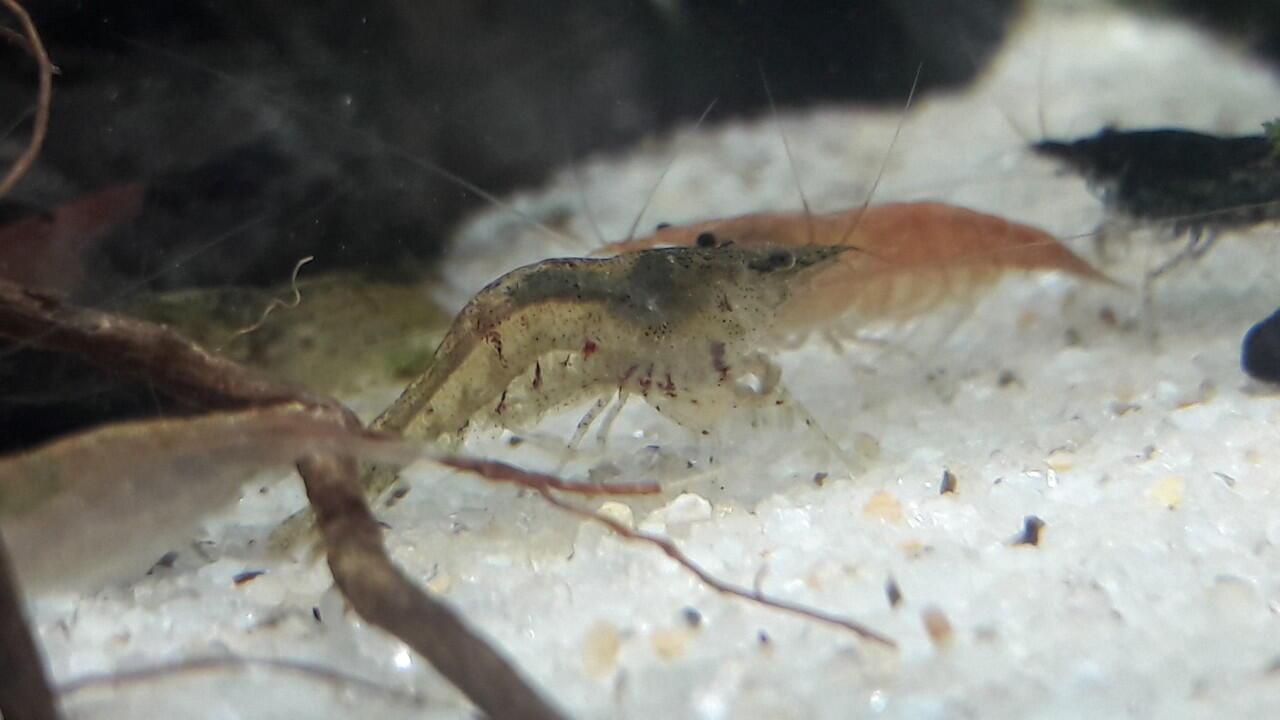 All About Shrimp Red Cherry Bee Black Neocaridina Ud Ang Hias Cery Caridina