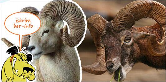 Dibalik Kisah Tanduk Tanduk Domba Berukuran Raksasa Kaskus